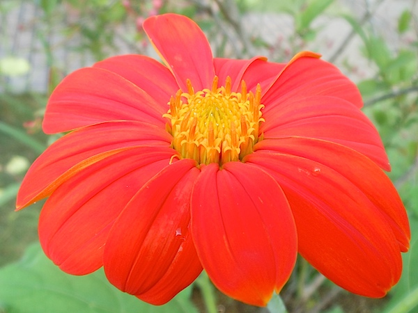 Mexican sunflower 2015